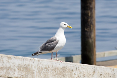 Glaucous-winged and Western gull intergrade