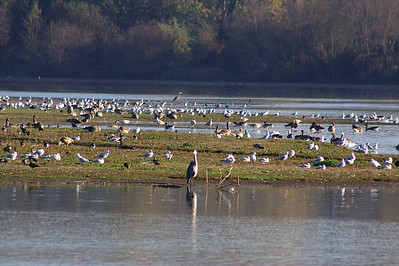 Little Marlow Resevoir, England. The rare Ruddy Shelduck, (Tadorna ferruginea), grazing at left. Also Grey Herons (Ardea cinerea), black-headed gulls (Larus ridibundus), lapwings (Vanellus vanellus), greylag geese (Anser anser).