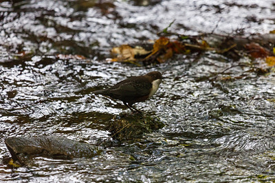 (Eurasian) Dipper (Cinclus cinclus) in burn by Mansegate