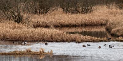Mallard ducks (Anas platyrhyncos), Loch Ken