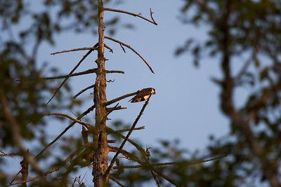 Osprey (Pandion haliaetus)
