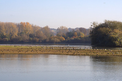 Little Marlow Resevoir. The rare Ruddy Shelduck (Tadorna ferruginea), is grazing at right. 3 November 2007.